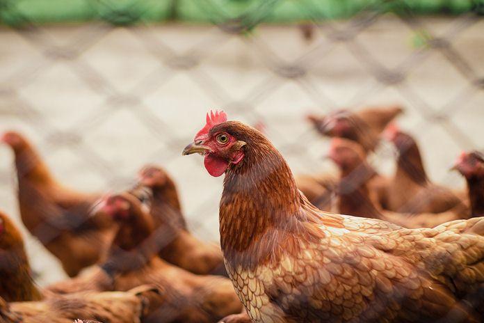 Tips Mengatasi Hama Gurem pada Ayam