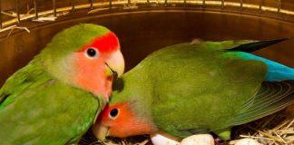 tips mengawinkan burung lovebird