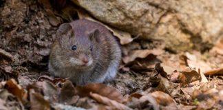 mengusir tikus