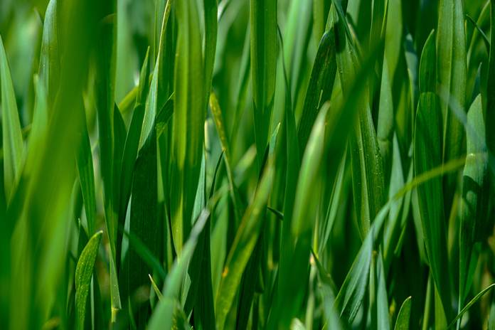 jenisrumput pakan ternak