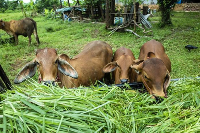 vitamin yang dibutuhkan oleh sapi