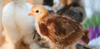 jenis pemanas ayam