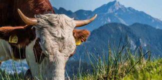 Pakan ternak bernutrisi tinggi