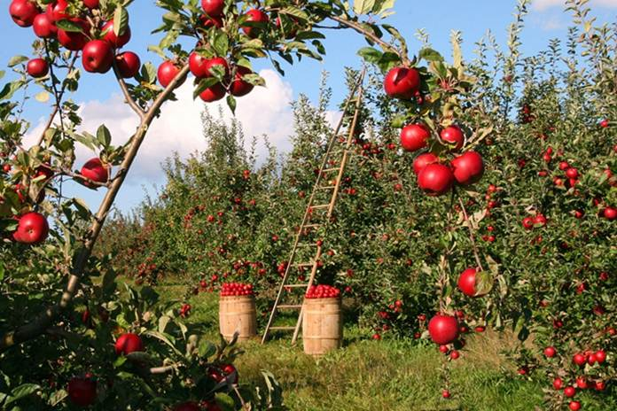 Bertanam apel
