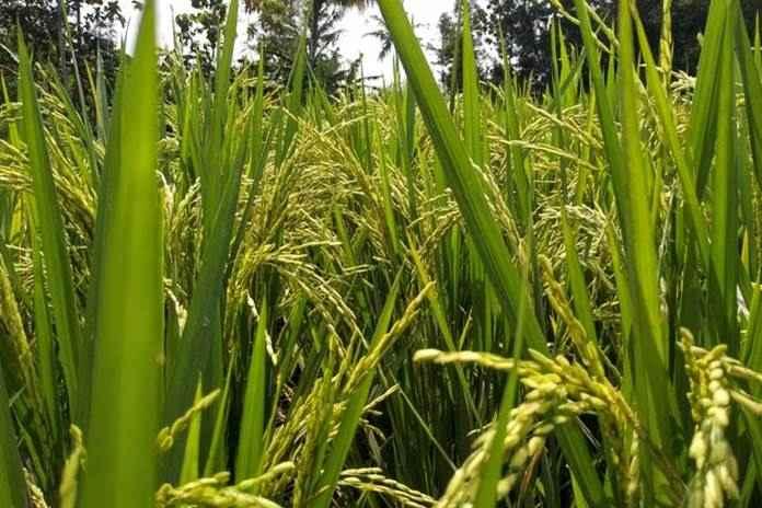 Bertanam padi di lahan kering