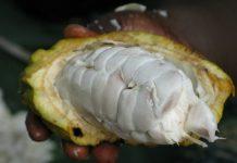 memecah buah kakao