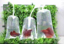 pengemasan ikan cupang