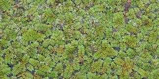 tanaman azolla