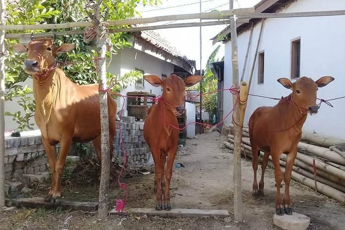 Jenis sapi asli Indonesia