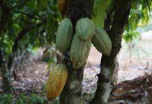 pohon pelindung Penanaman pohon pelindung cokelatcokelat