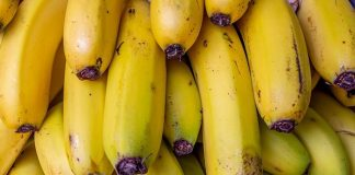 pisang tahan layu bakteri