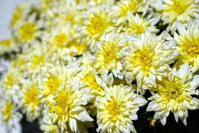 Ekspor bunga krisan