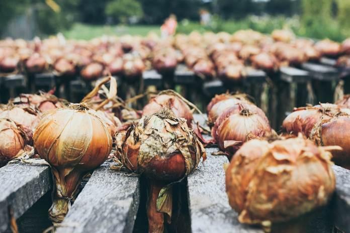 Bertanam bawang bombai