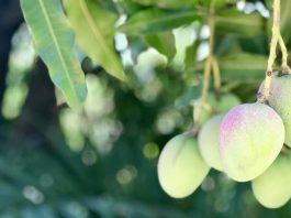 mangga dari Nusa Tenggara