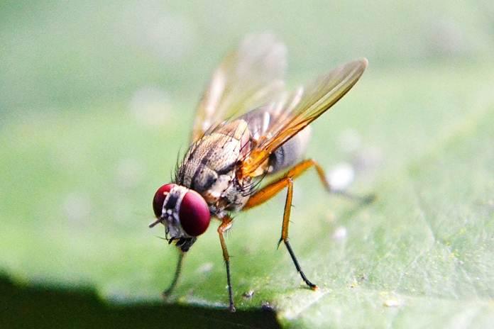 membasmi lalat buah