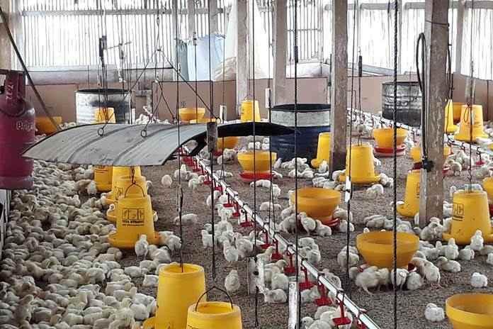 pemeliharaan ayam broiler organik