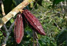 Peremajaan tanaman kakao