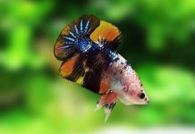 tips berbisnis ikan cupang