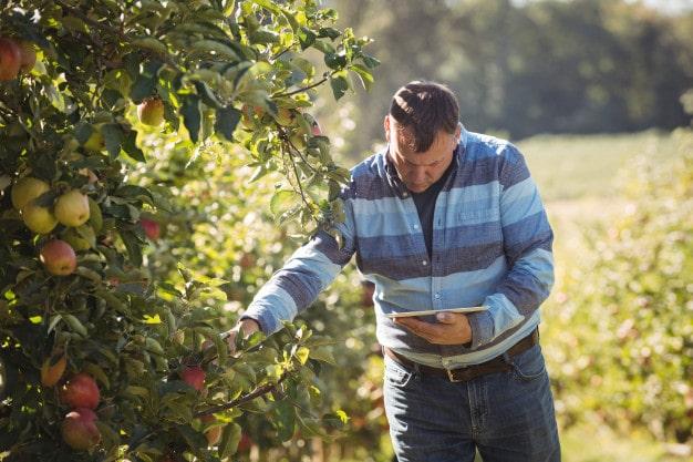 Perawatan apel