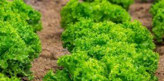 Perawatan tanaman selada