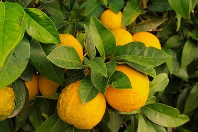 panen buah jeruk