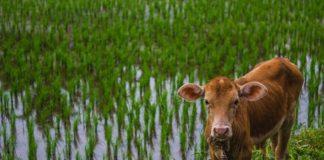 peternakan sapi di NTB