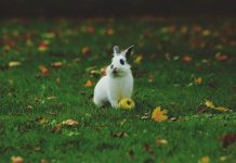 Jenis kelinci nonpedaging