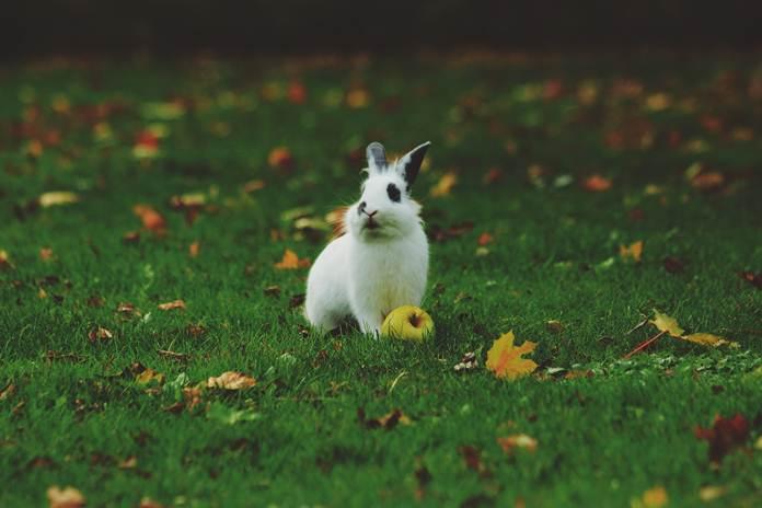 kelinci nonpedaging