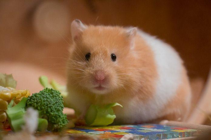sayuran untuk hamster