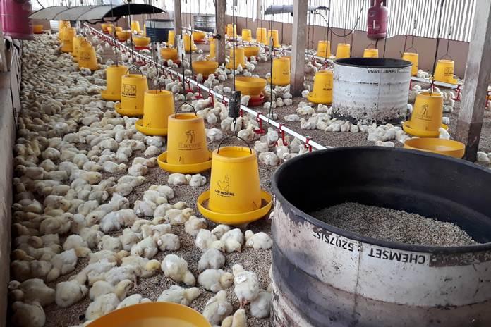 Mulai Beternak Ayam Broiler Organik? Simak Kebutuhan Lengkapnya