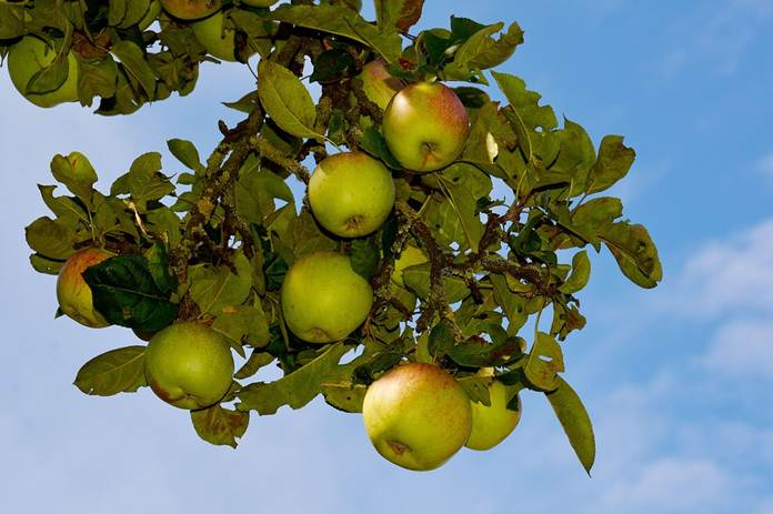 budidaya apel