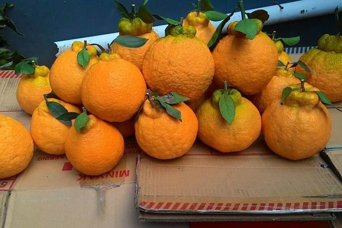 jeruk manis tanpa biji
