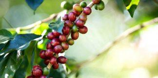 perbanyakan tanaman kopi