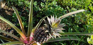 tanaman nanas