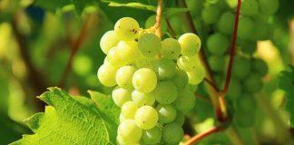 varietas anggur