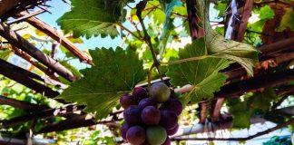 berkebun anggur