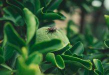 lalat buah mangga