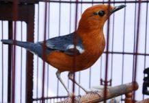 burung anis merah