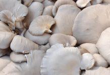 pembibitan jamur tiram