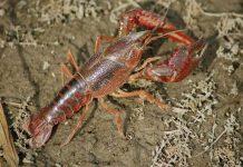 jenis lobster