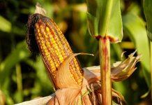 gerakan tanam jagung