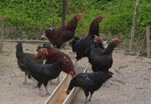 Pakan Ayam KUB
