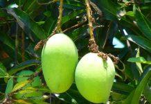 penyakit buah mangga