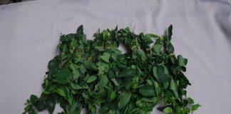 sayur daun katuk