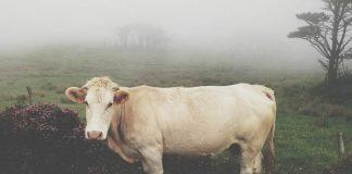 meningkatkat bobot sapi