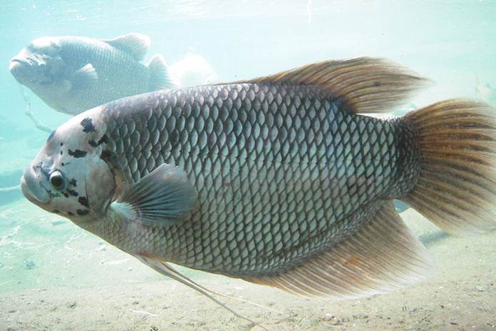 ikan gurami segar