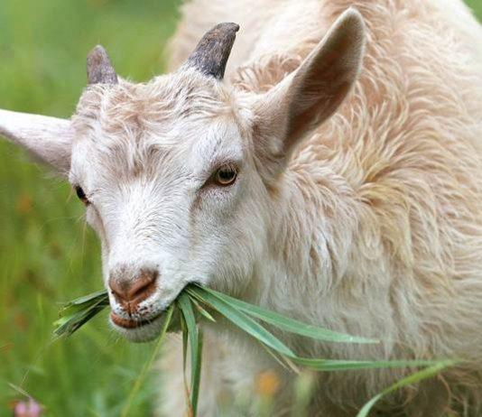 kambing potong