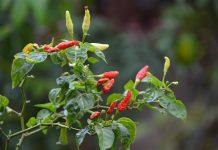 perpanjang tanaman cabai