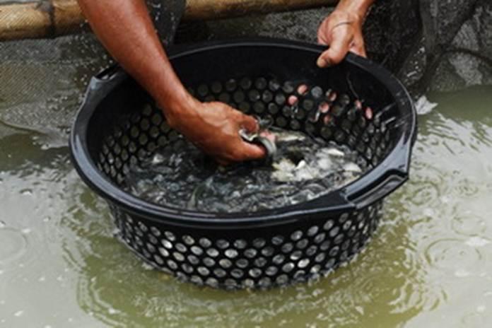cara pemijahan ikan