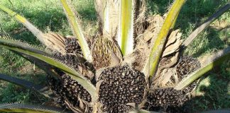 tandang kosong kelapa sawit